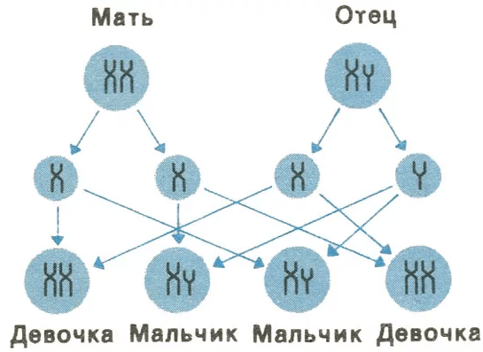 Узнать пол по Y–хромосоме матери