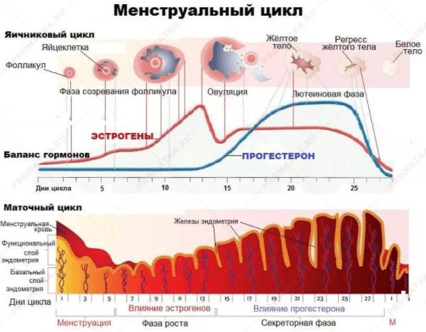 Оценка менструального цикла