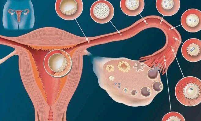 Как происходит оплодотворение яйцеклетки с 1 дня