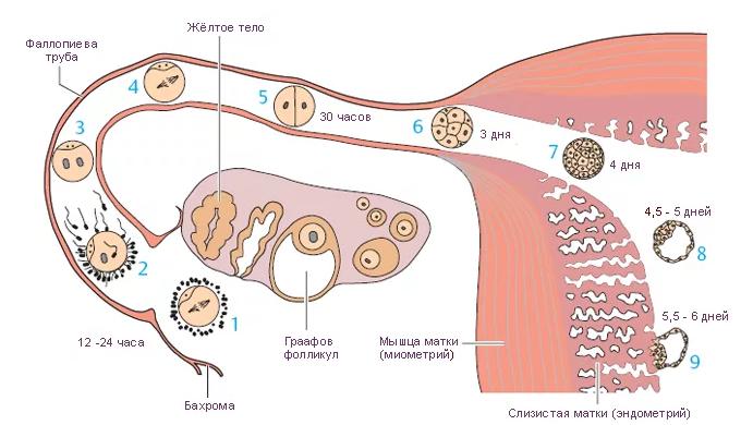 Оплодотворенная яйцеклетка при беременности